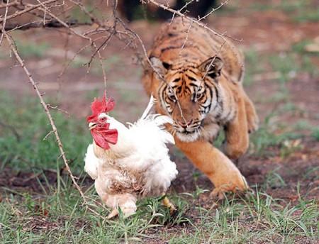 Kip en tijger