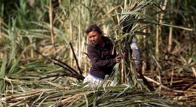 Suikerriet uit Cambodja
